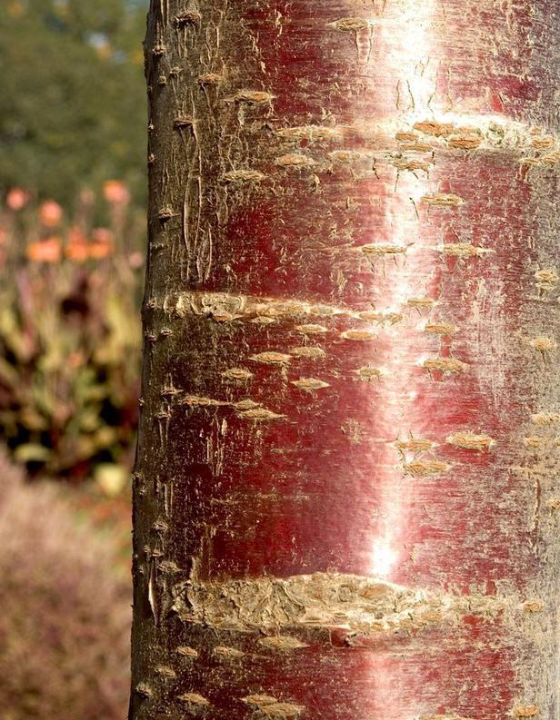 Barking Up The Right Tree Home Improvement Tree Bark Blossom Trees
