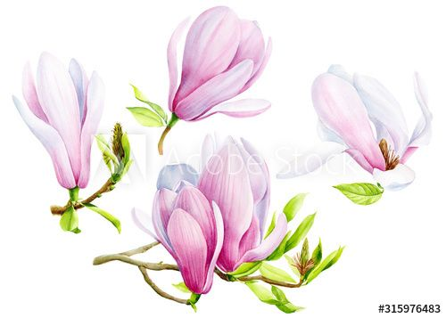 set of magnolia flowers on an isolated transparent background, watercolor illustration, hand drawing, botanical painting, tropical flora , #Aff, #transparent, #background, #watercolor, #isolated, #set #Ad