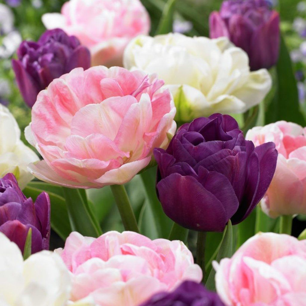 How To Plant Tulips And Other Spring Flowering Bulbs Pinterest
