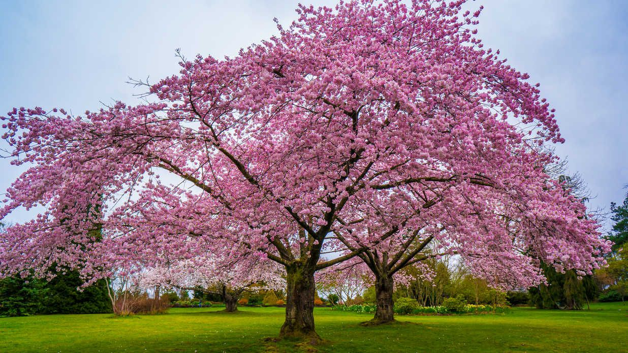 You Can Buy A Cherry Blossom Tree For Just 39 At The Home Depot Fast Growing Shade Trees Flowering Cherry Tree Blossom Trees