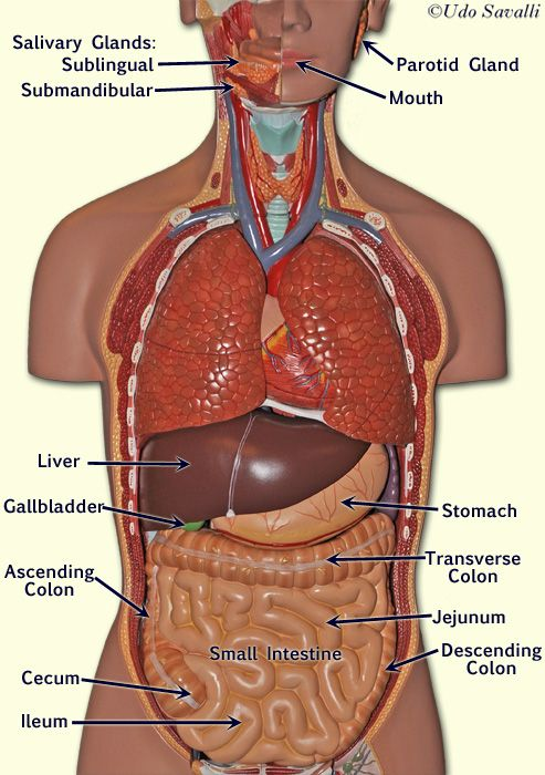Digestive Organs | Practical II | Pinterest | Anatomy, Medical and ...
