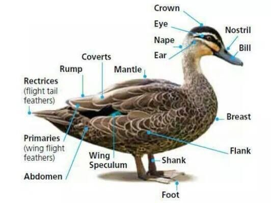 Duck Anatomy | Must Love Birds | Pinterest | Raising ducks, Duck ...