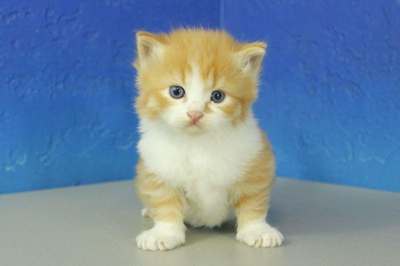 Munchkin kittens for sale buy munchkin kittens
