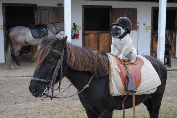 Pug riding a horse