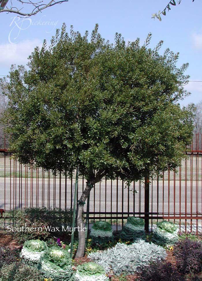 Southern Wax Myrtle Plants Garden Trees Landscaping Plants