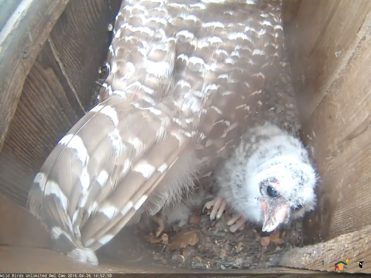 Little owlet, big talons!