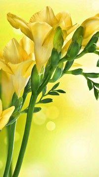 Zolte Frezje Flowers Plants Floral