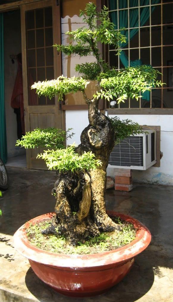 Bonsai Haus coconut bonsai tree buscar con bonsai