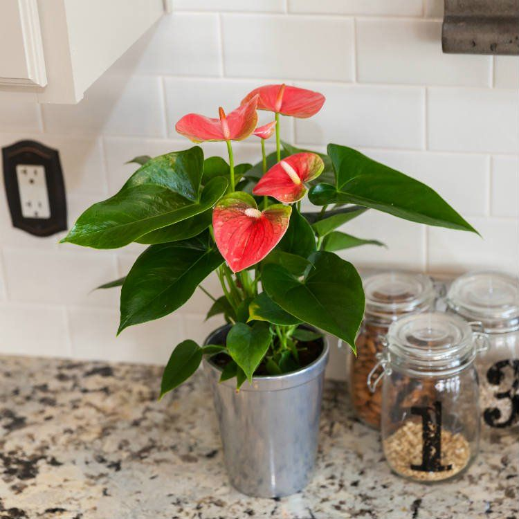 What to Do When Your Anthuriums Lose Their Flowers | House ... Long Lasting House Plants on colorful house plants, non-toxic house plants, small house plants, soothing house plants, robust house plants, weather proof house plants, hypoallergenic house plants, fragrant house plants, lightweight house plants, compact house plants, organic house plants, portable house plants, rugged house plants, elegant house plants, night blooming house plants, refreshing house plants, cool looking house plants, inexpensive house plants, strong house plants, easy to maintain house plants,