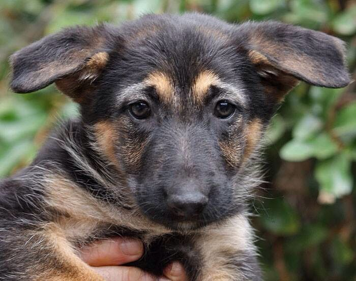 Fallon Von Fendi Is A 7 Week Old German Shepherd Puppy Www