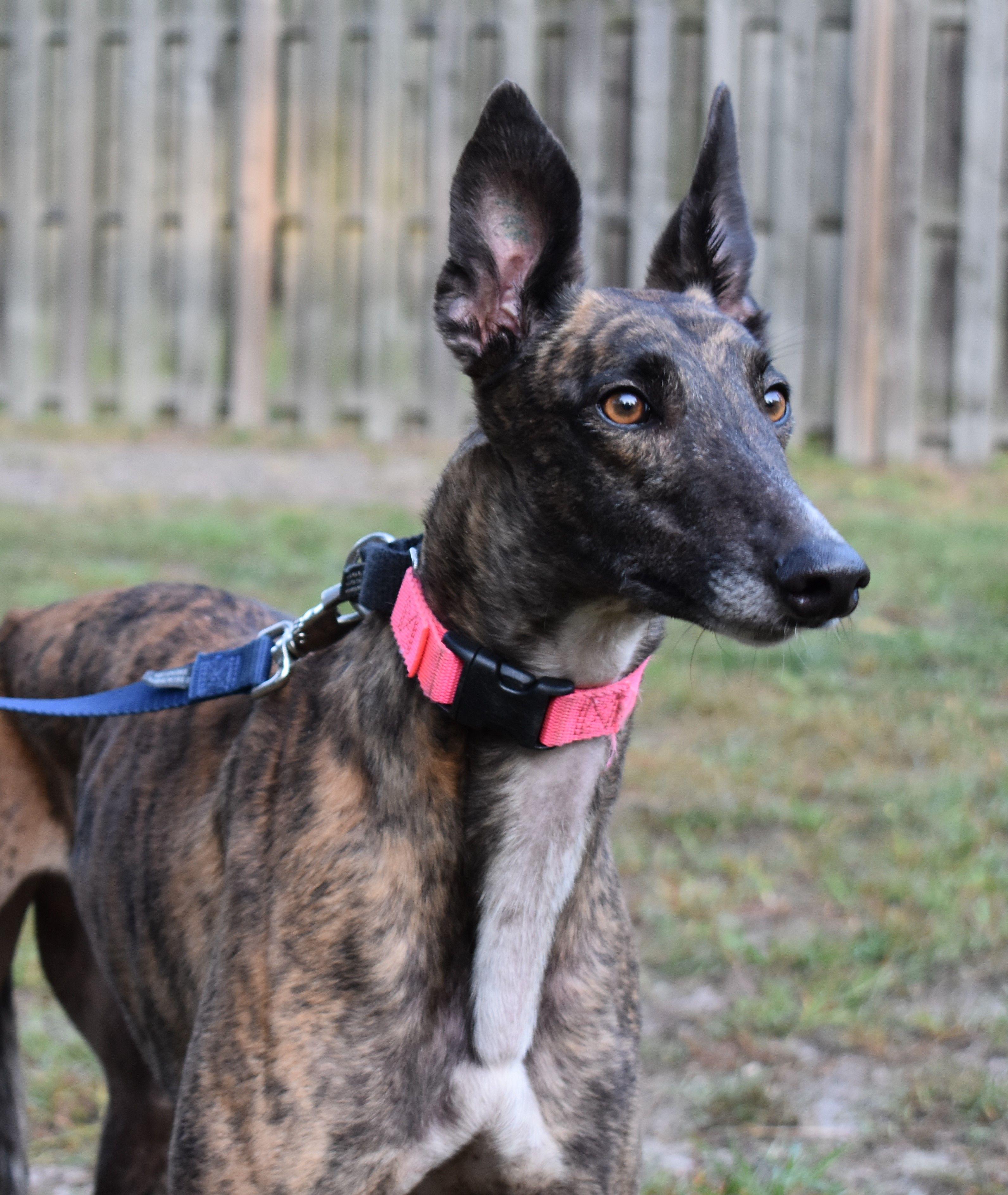 Greyhound dog for adoption in cherry hill nj adn667810