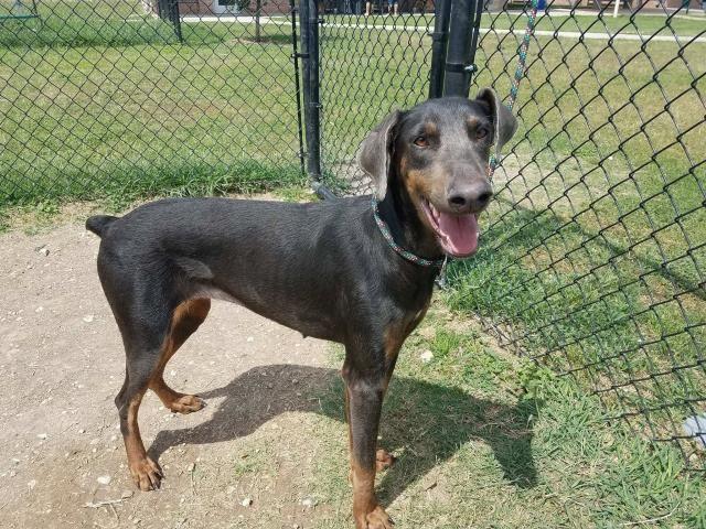Doberman Pinscher Dog For Adoption In San Antonio Tx Adn 530043 On Puppyfinder Com Gender Female Age Doberman Pinscher Doberman Pinscher Dog Doberman Dogs