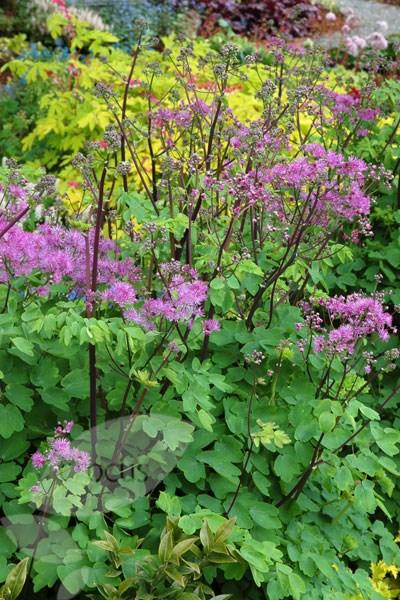 Buy Meadow Rue Thalictrum Black Stockings 7 99 Delivery By Crocus In 2020 Thalictrum Black Stockings Shade Plants Border Plants