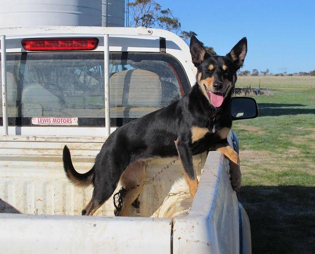 Ungardened Moments Photos From Western Australia Aussie Dogs Australian Kelpie Farm Dogs