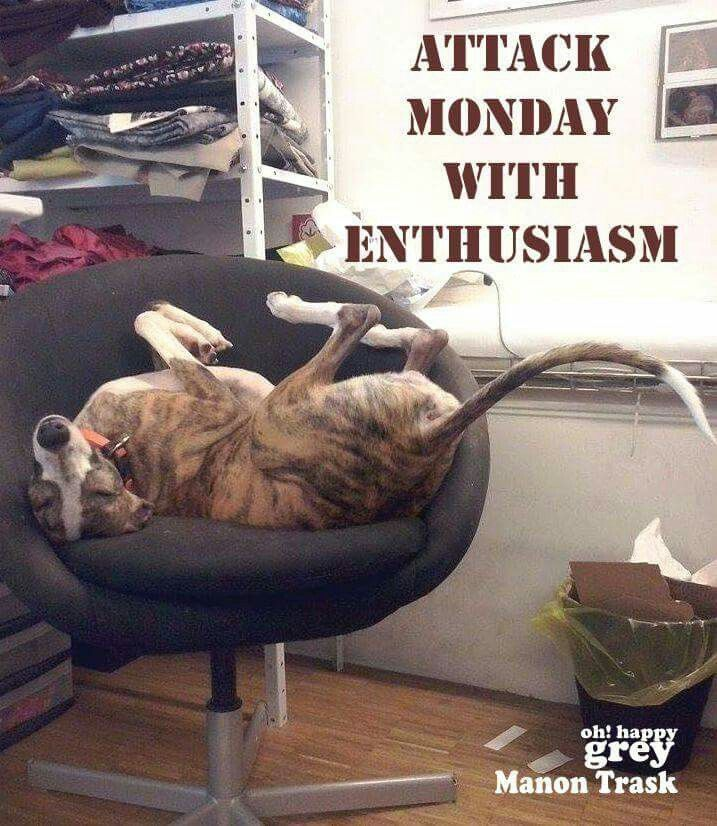 Greyhound Attacking Monday w Proper Enthusiasm | Greyhounds ❤️ all