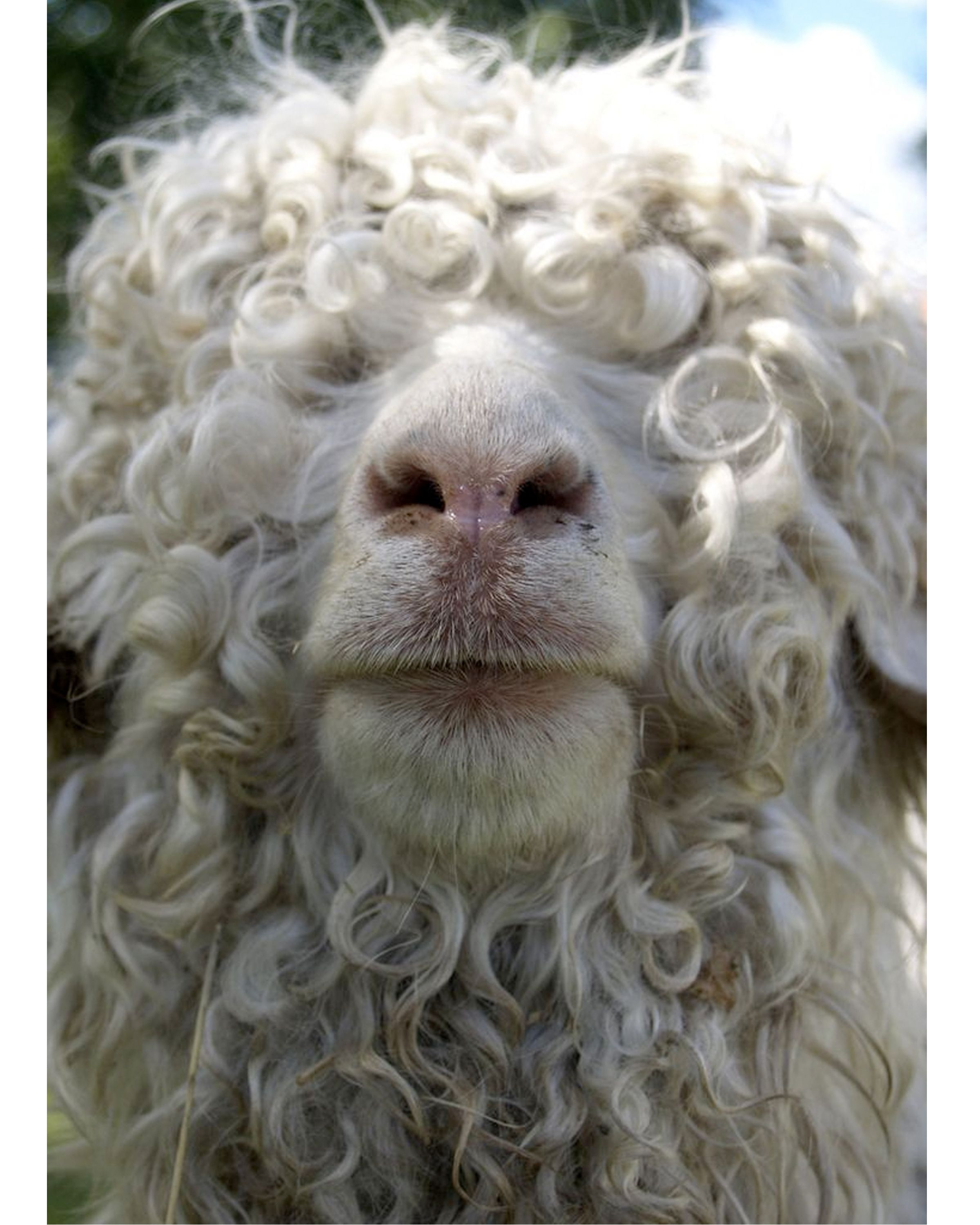 Curly Hair Sheep Picture - Short Curly Hair