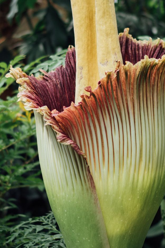 We Saw The Corpse Flower In Bloom And It Was Disgustingly Beautiful Corpse Flower Rare Plants Amorphophallus Titanum