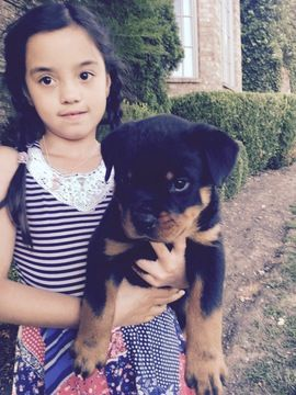 Litter Of 4 Rottweiler Puppies For Sale In Franklin Tn Adn 33472