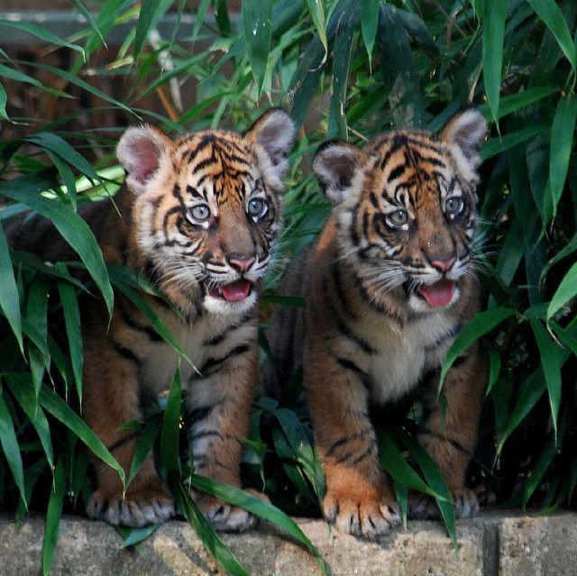 Tigers♥