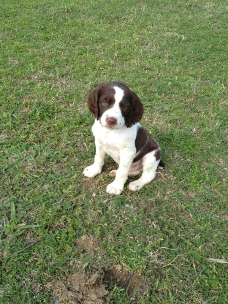 Brittany Spaniel Brittany Spaniel Puppies Brittany Dog Puppies And Kitties