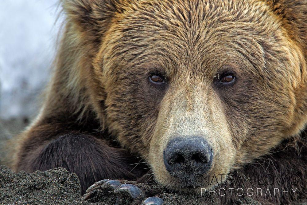 Brown Bear Face 5024 Lovas P Jpg Jpeg Grafik 1000 667 Pixel Bear Images Brown Bear Bear Pictures