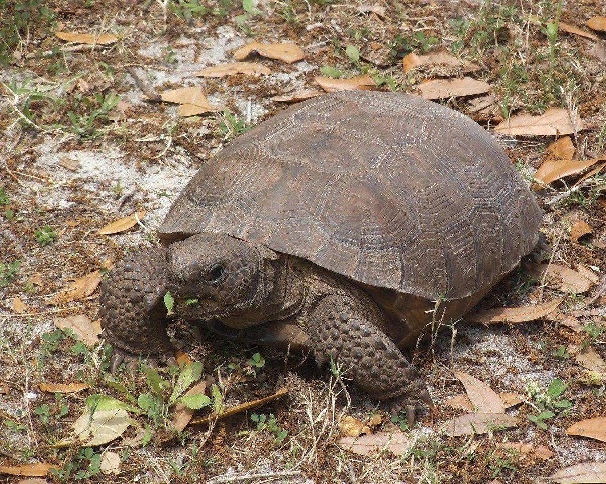 Florida Wildlife Gopher Tortoise Tortoise care