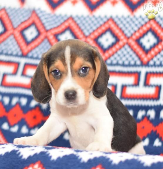 Lonnie Beagle Puppy For Sale In Millersburg Oh Lancaster