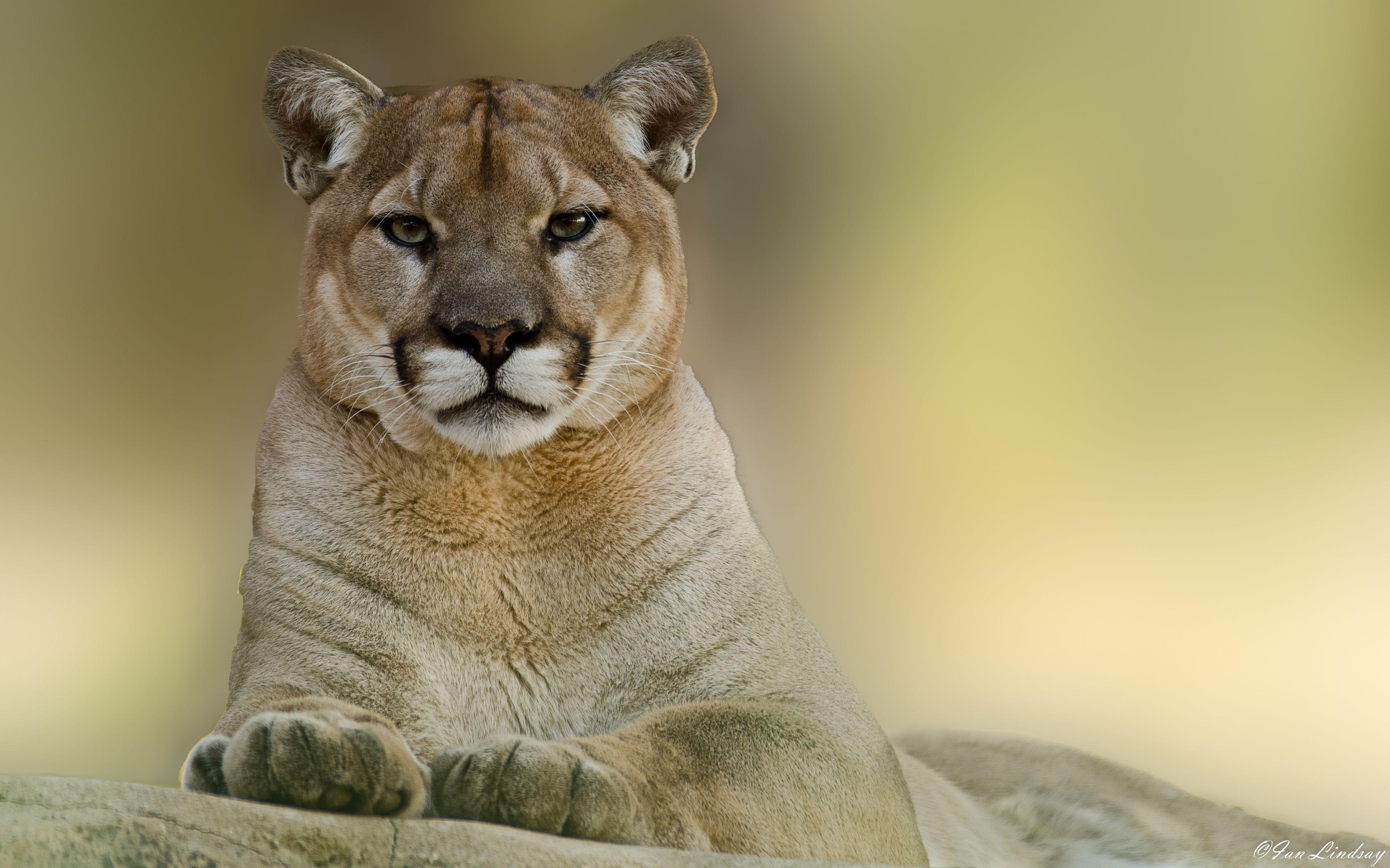3840x2400 wallpaper puma, cougar, mountain, lion | animal • cougar
