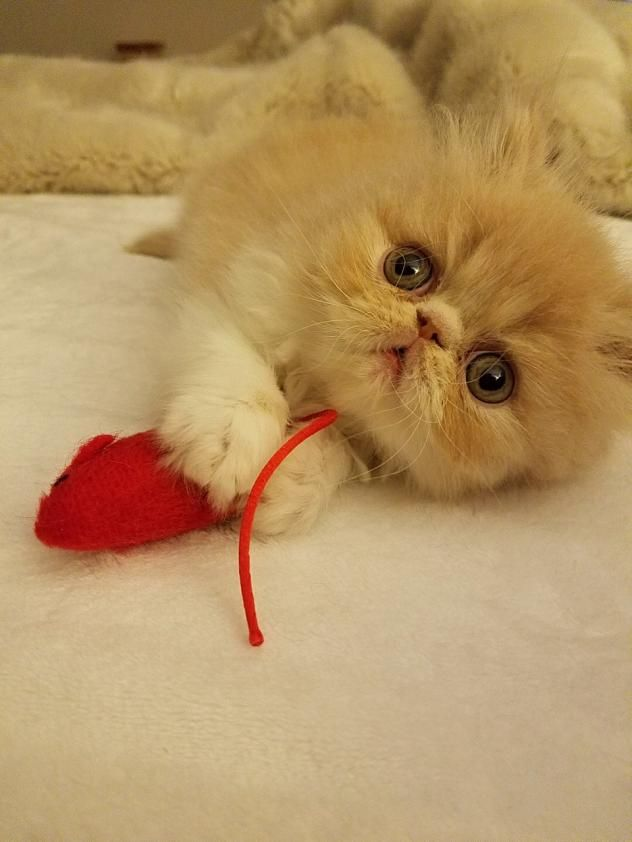 Adopt Zachary On With Images Persian Kittens Kittens Cutest Cute Cats