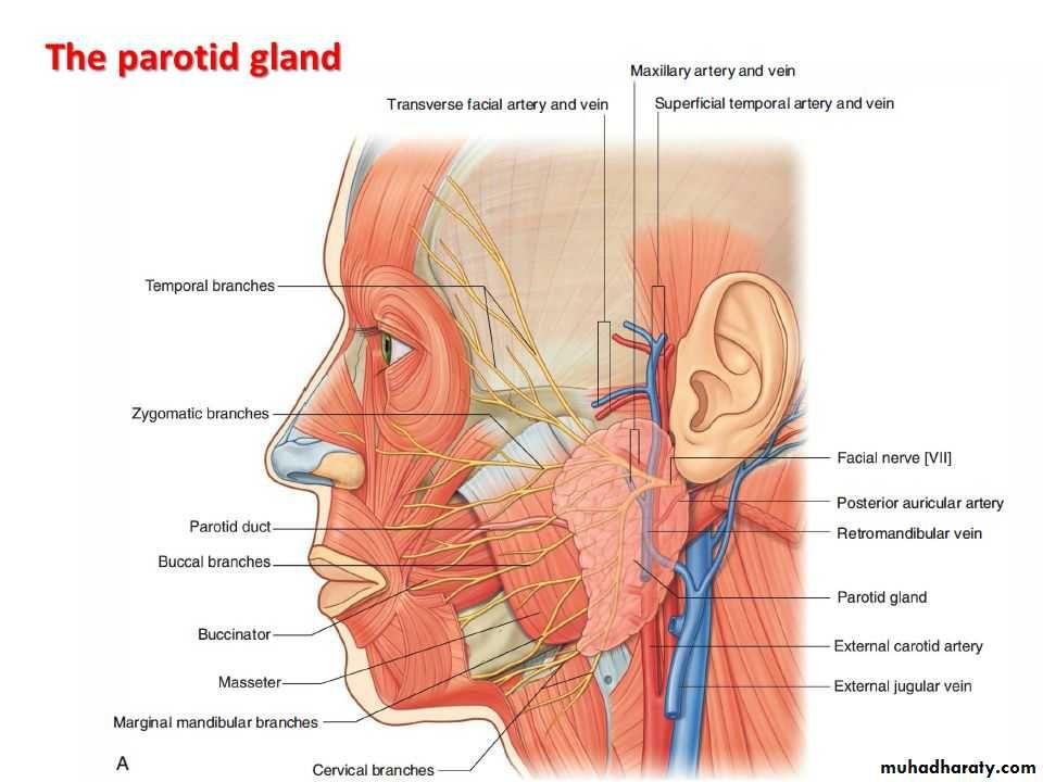 Parotid Gland Structures 3 External Carotid Artery