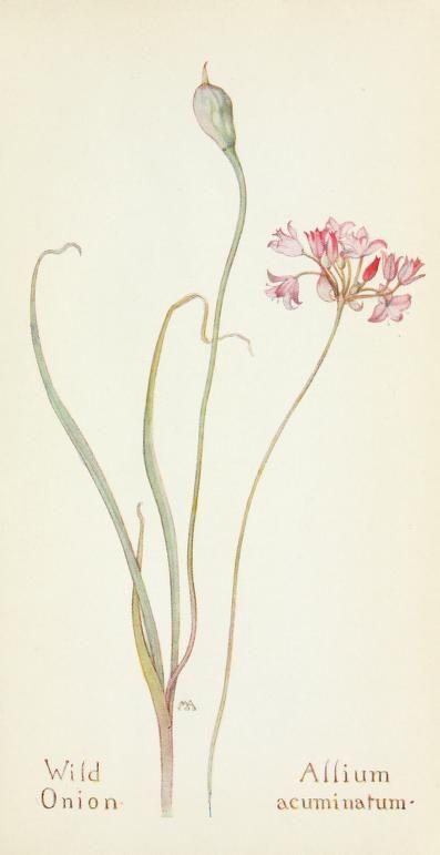 Field book of western wild flowers (1918) | Wild Onion