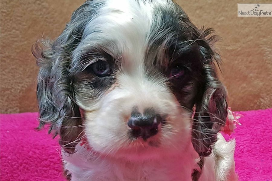 Cocker Spaniel Puppy For Sale Near Springfield Missouri