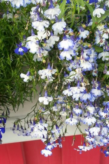 Edging Lobelia Annual Lobelia Trailing Lobelia Regatta Blue