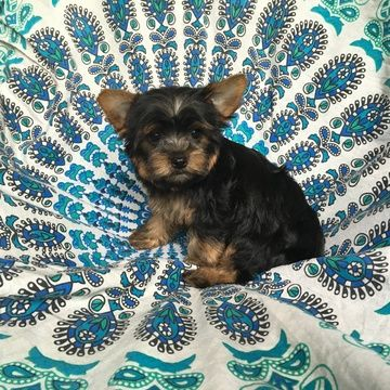 Yorkshire Terrier Puppy For Sale In Houston Tx Adn 33100 On Puppyfinder Com Gender Female Age 9 Weeks Yorkshire Terrier Puppies Puppies Yorkshire Terrier