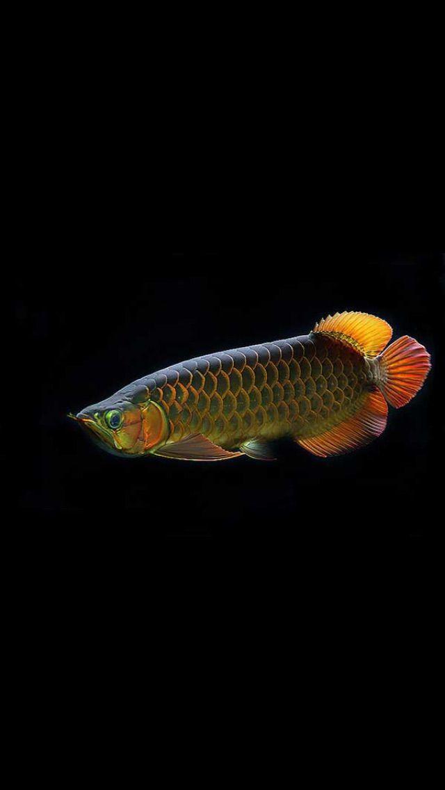 Arwana Ikan Akuarium Burung Cantik Ikan Cupang