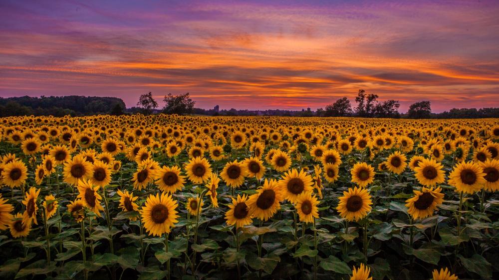 Download Wallpaper 1366x768 Sunflowers Field Sunset Sky Clouds Tablet Laptop Hd Background In 2020 Field Wallpaper Sunflower Wallpaper Aesthetic Desktop Wallpaper