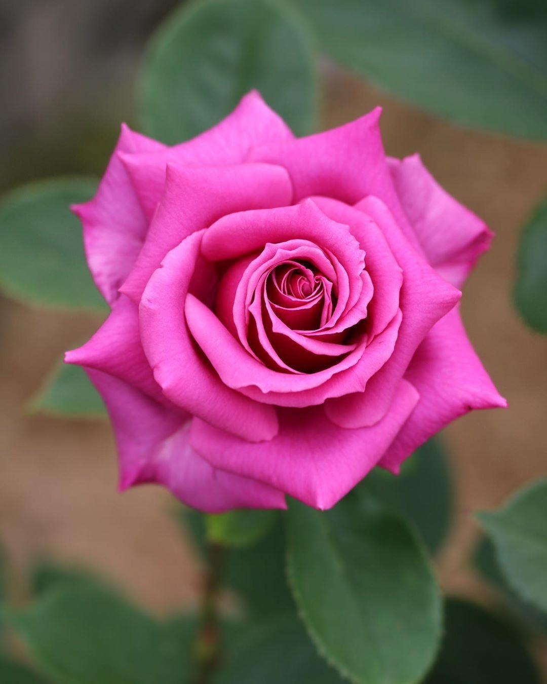Пин от пользователя Алла на доске розы | Розовые розы ...