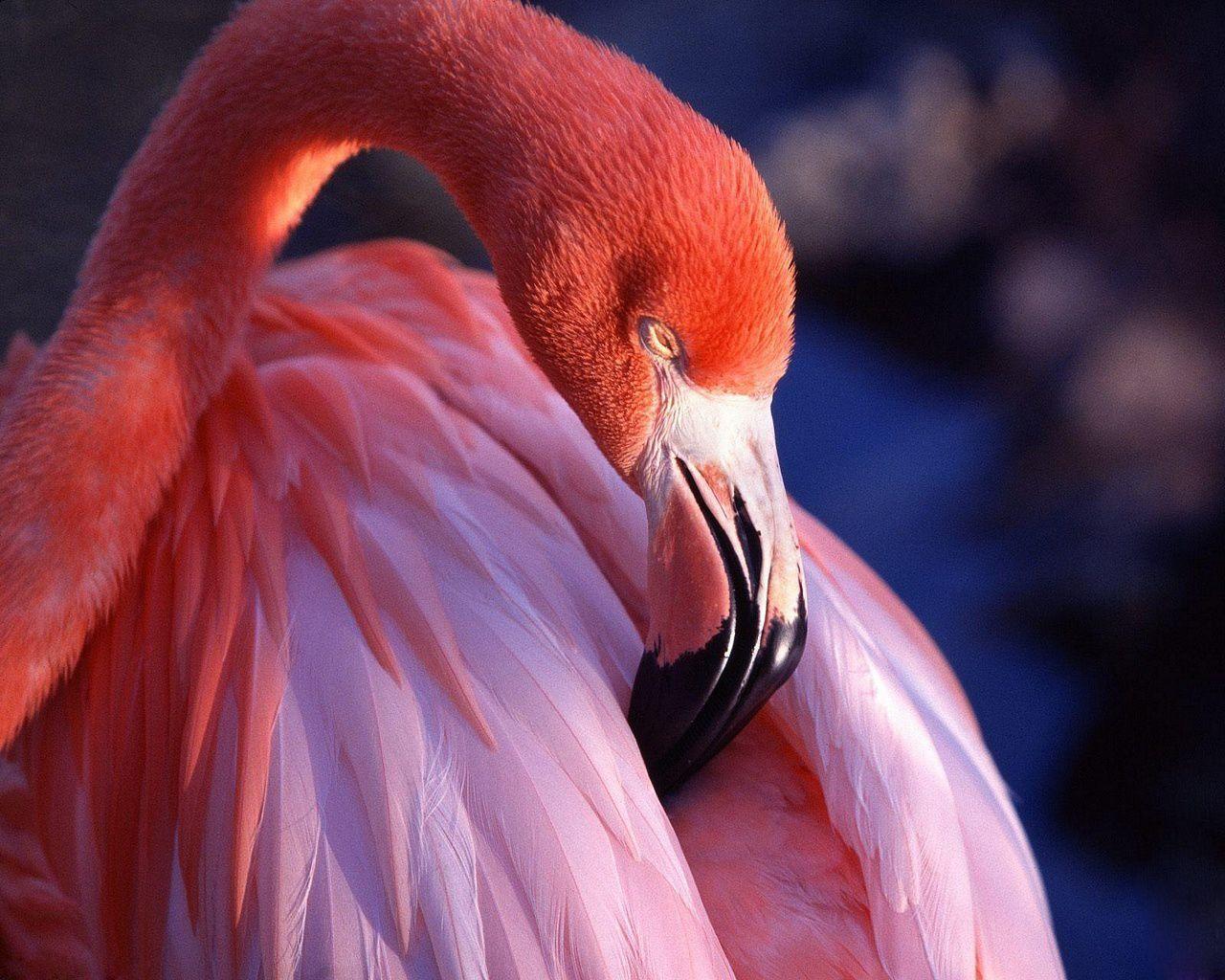 Fenicottero rosa