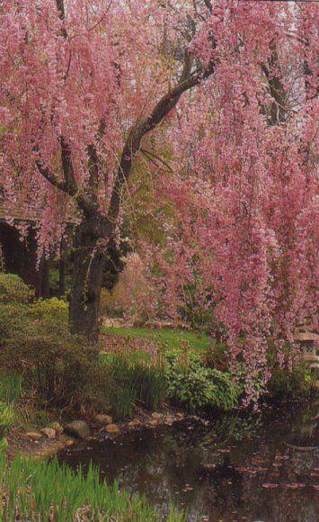 Flowering Cherry Weeping Cherry Tree Blossom Trees Cherry Tree