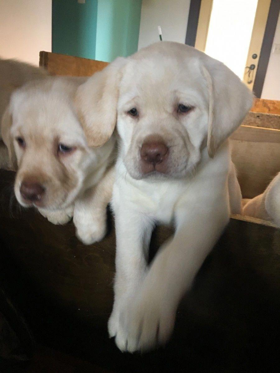 Labrador Retriever Instagram Posts Videos Stories On Webstaqram Com Labrador Retriever Labrador Retriever Puppies Labrador Puppies For Sale