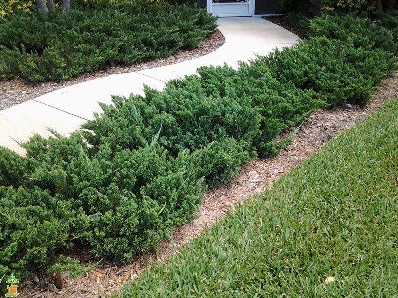 parson's juniper backyard landscaping