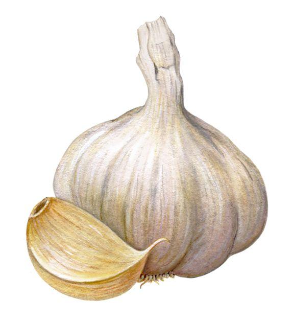 garlic1.jpg 576×632 pixels | Pintura Frutas | Pinterest