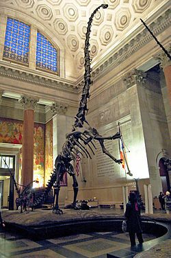 Barosaurus mounted skeleton in rearing posture, American Museum of Natural History. Adults measuring more than 85 feet in length and weighing more than 22 short tons.