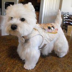Teacup Westies For Sale Google Search Westies Westie Terrier Cute Dogs