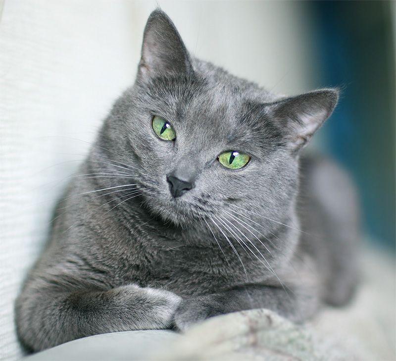 Whiskers With Her Eyes Open Russian Blue Korat Cat Russian Blue Kitten