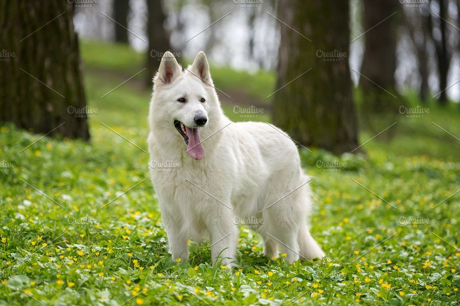 Berger Blanc Suisse White German Shepherd German Shepherd German Shepherd Care