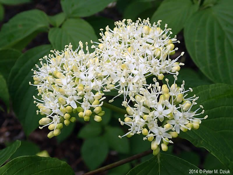Photos and information about minnesota flora cornus alternifolia photos and information about minnesota flora cornus alternifolia pagoda dogwood shrub or small tree convex clusters of 4 petaled white flowers mightylinksfo