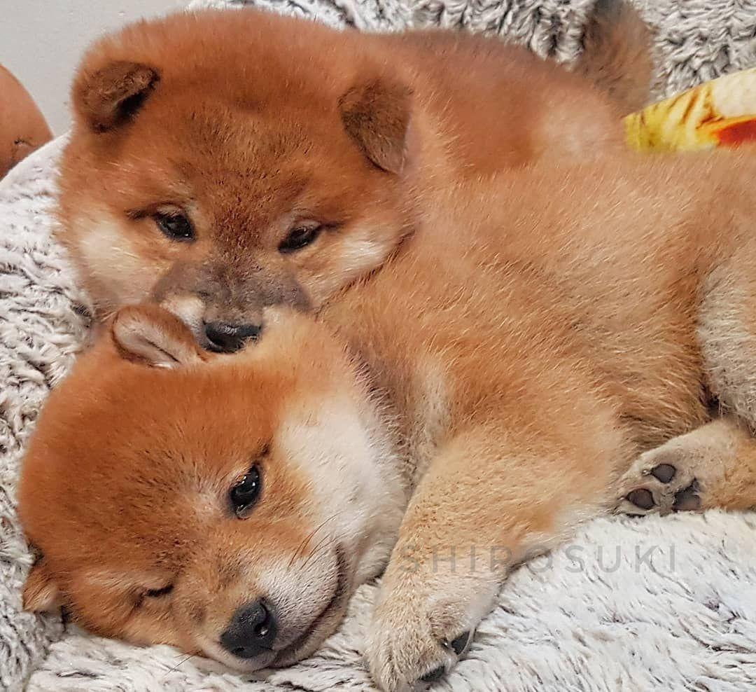 Shiba Inu Puppies By Shiro Suki On Instagram In 2020 Shiba Inu Cute Dogs Dog Cat