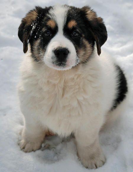 German Shepard Saint Bernard Mix Mixed Breed Puppies St Bernard