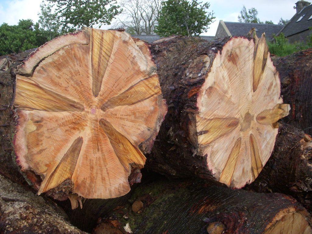 Monkey Wood Tree
